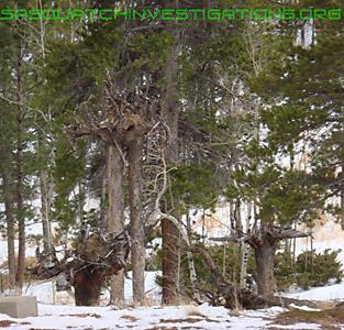 Sasquatch Mystery Trees