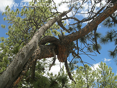 Sasquatch Investigations of the Rockies Tree Shape Oddities 1