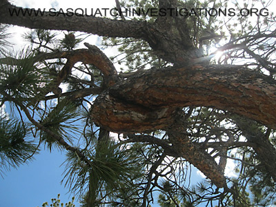 Sasquatch Investigations of the Rockies Tree Shape Oddities 2