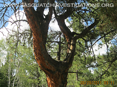 Sasquatch Investigations of the Rockies Tree Shape Oddities 3