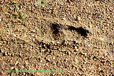 Bigfoot Print From Colorado Rockies November 2011