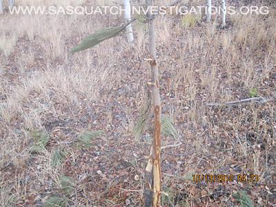 Bigfoot Research Bulk Elk Tree Breaks 3