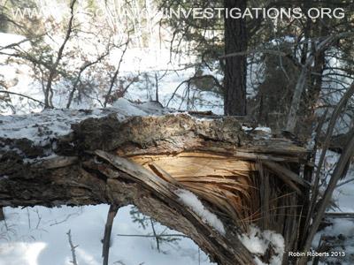 Colorado Bigfoot Tree Break 02