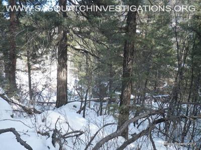 Colorado Bigfoot Tree Break 04