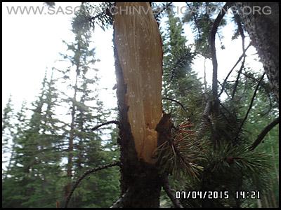Bigfoot Tree Break 2193