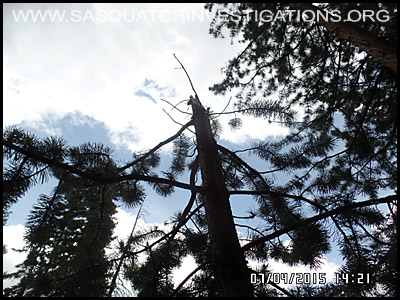 Bigfoot Tree Break 2194
