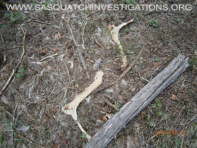 Sasquatch Evidence Of  Predator 060613 2