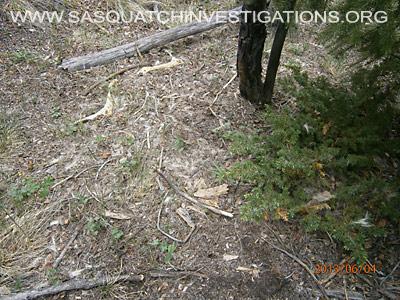 Sasquatch Evidence Of  Predator 060613 3