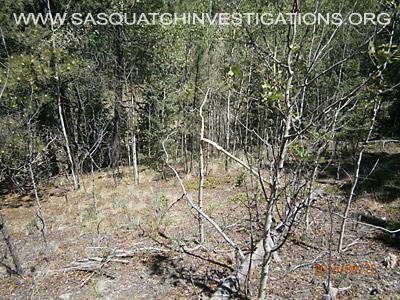 Bigfoot Tree Breaks In Colorado