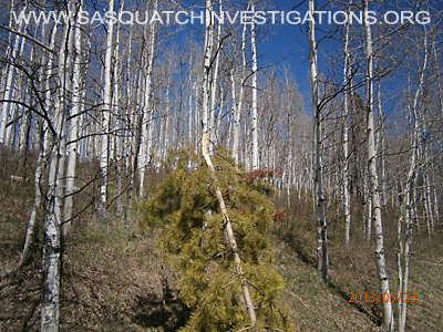 Colorado Bigfoot Tree Breaks 01