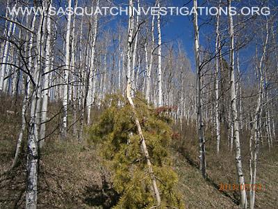 Colorado Bigfoot Tree Breaks 01