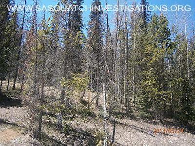 Colorado Bigfoot Tree Breaks 03