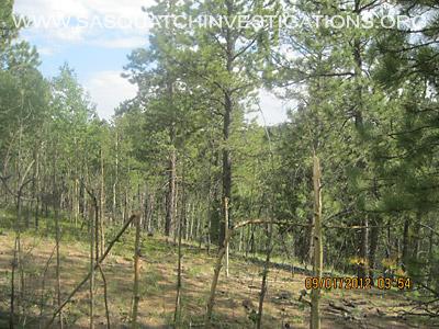 Sasquatch Tree Break Evidence In Colorado 1