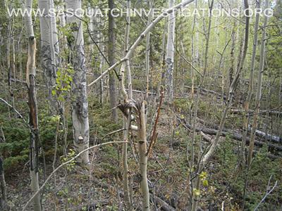 Squatch Tree Breaks in Colorado 06/23/14 1