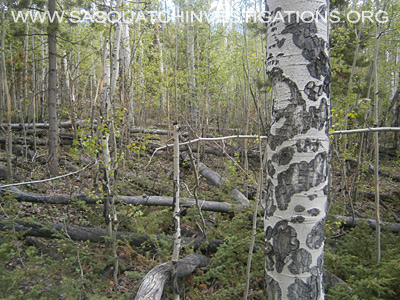 Squatch Tree Breaks in Colorado 06/23/14 4