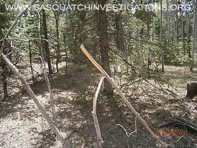 Tree Breaks in Co Bigfoot Research Area 2