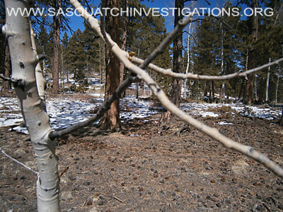 Bigfoot Tree Break Evidence In Colorado 2