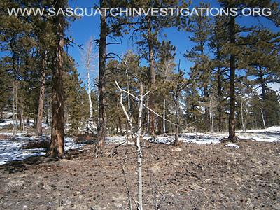 Bigfoot Tree Break Evidence In Colorado 1