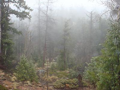 Bigfoot Tree Breaks Fog 11-19-13