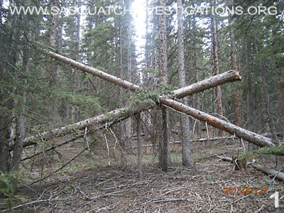 Bigfoot Tree Structures In Colorado 080113 1