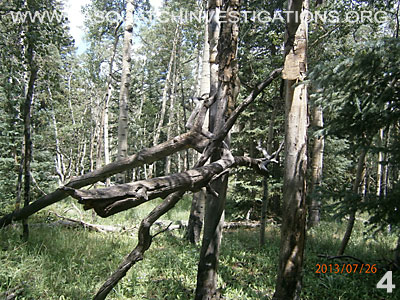 Bigfoot Tree Structures In Colorado 080113 4