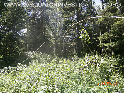 Bigfoot Tree Structures In Colorado 6