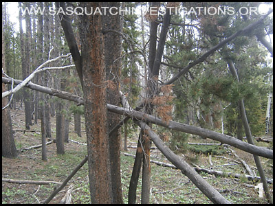 Bigfoot Tree Structures in Colorado 06-24-14 1