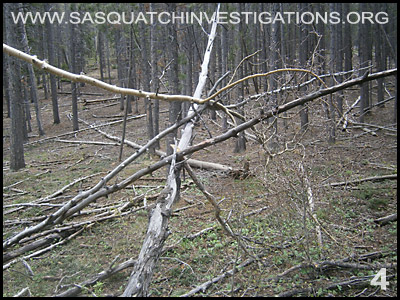 Bigfoot Tree Structures in Colorado 06-24-14 4