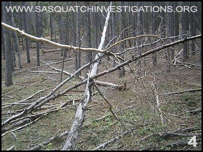 Bigfoot Tree Structures in Colorado 06-24-14 4