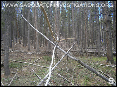 Bigfoot Tree Structures in Colorado 06-24-14 5