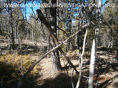 Bigfoot Trees Structures 11-16-13 2 4