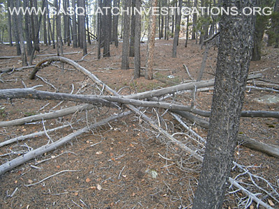 Sasquatch Tree Structures 11-24-14 1