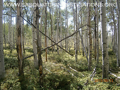 Colorado Squatch Tree Structures 081613 3