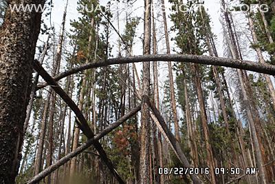 Bigfoot Tree Structure 08-24-16 01