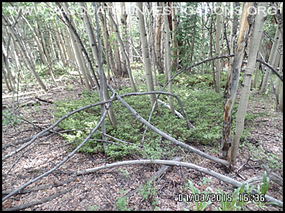 Bigfoot Tree Structures 2152