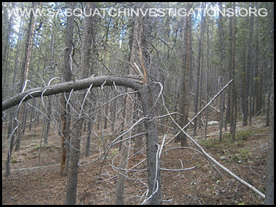 Bigfoot Tree Structure 09-09-14 Colorado 1