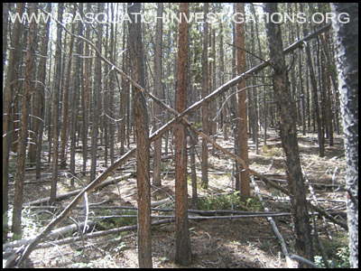 Bigfoot Tree Structure 09-09-14 Colorado 4