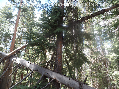 Bigfoot Tree Structures 11-11-15 3