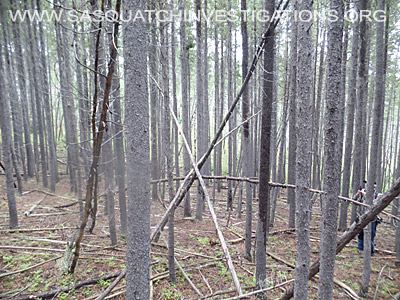 Bigfoot Tree Structures 3484